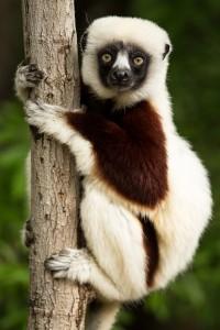 lemur-1794519_1920