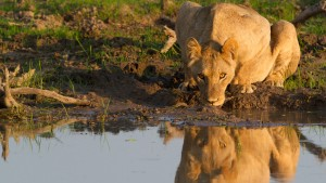nws-st-zimbabwe-lion-drinking-from-pool