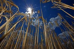 Via de Plata23. Campos de cereal cerca de Maire de Castroponce