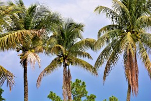 palm-trees-4225541_1920